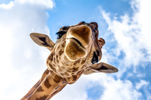 Close-up Of A Giraffe Head Dur...
