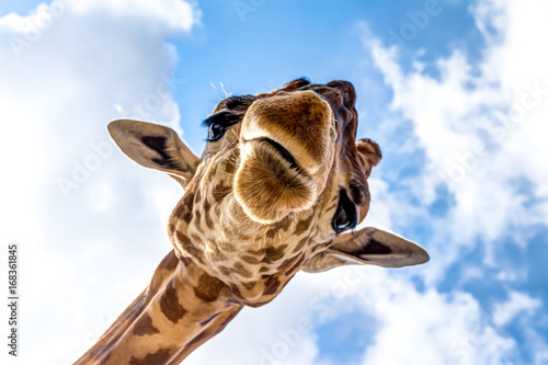 Photo sur Toile Girafe Close-up of a giraffe head during a safari trip South Africa