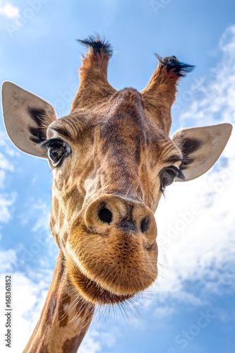Close-up of a giraffe head