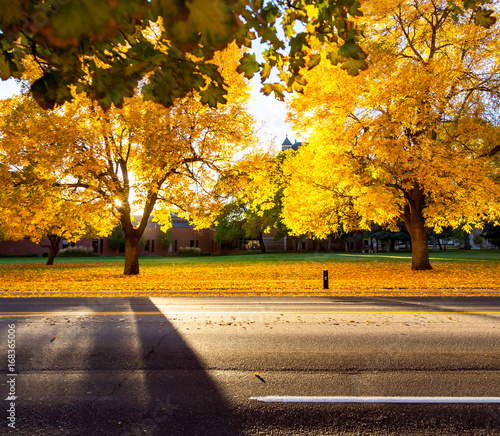 Yellow Oak Trees In Fall Along A Street