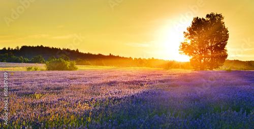 Spoed Fotobehang Lavendel Lavender field at sunrise