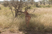 A Grant`s Gazelle In A Tree Shade In Ruaha National Park