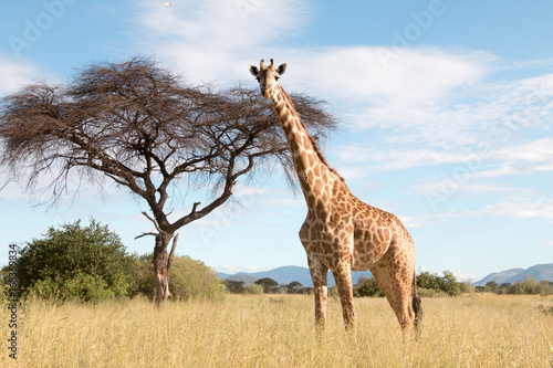 In de dag Giraffe A large giraffe in a Ruaha National Park