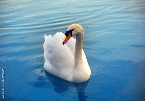 Mute Swan said most beautiful Regal bird