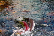 Humpback Salmon And Blueback In Shallow Males