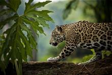 Jaguar (Panthera Onca), Belize