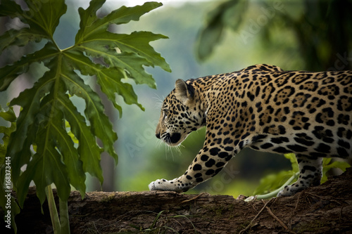Fotografie, Obraz  Jaguar (Panthera onca), Belize