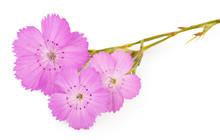 Pink Carnation (Dianthus Carthusianorum) Flower
