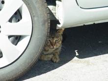 車の下で涼む猫