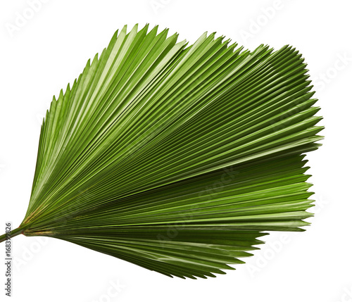 Valokuva  Licuala grandis or Ruffled Fan Palm leaf, Large tropical foliage, Pleated leaf