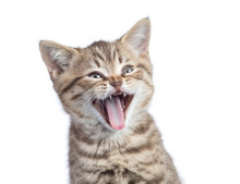 Funny Cat Portrait Isolated