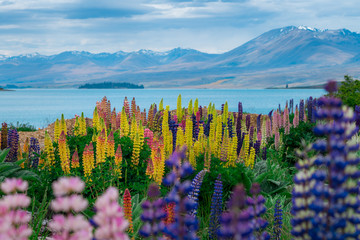 Plakat Landscape at Lake Tekapo Lupin Field in New Zealand
