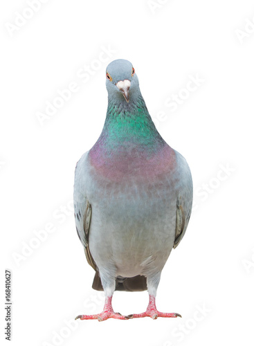close up full body of homing pigeon bird isolated white background