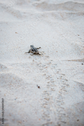 Obraz na plátne Baby Sea Turtle