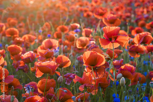 Autocollant pour porte Corail Red poppies in the evening light