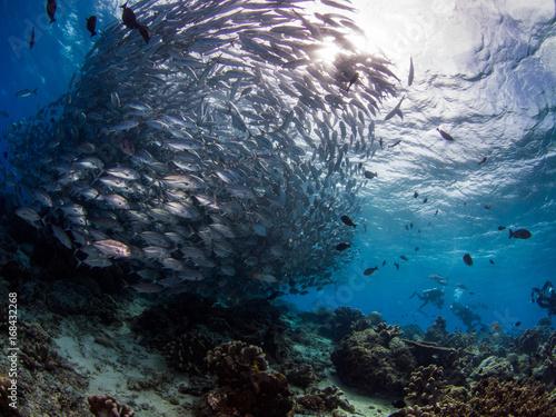 Photo school of jackfish in sipadan island