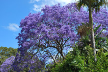 Vibrantly Purple Jacaranda Tre...
