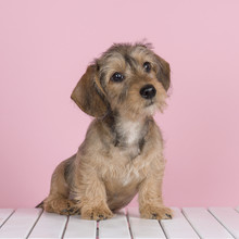 Cute Wire Haired Dachshund Pup...