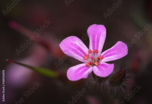 Fotografie, Obraz  Geranium Sauvage (Herbe à Robert)