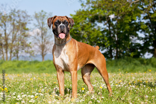 Portrait of nice german boxer Canvas Print