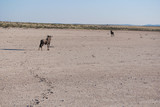 Fototapeta Sawanna -  Gnu in Etosha National park. Namibia