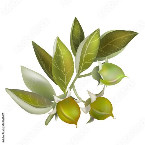 Fotografie, Obraz  Jojoba fruit, element for organic cosmetics
