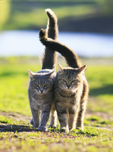 Two Lovers Cat Walking On Gree...