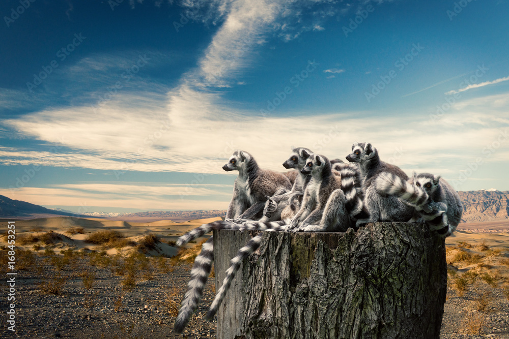 Fototapety, obrazy: Lemurs on trunk over desert