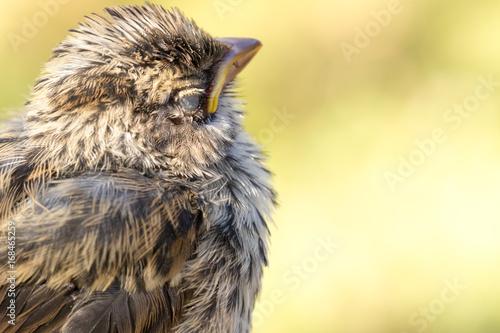 Fotografie, Obraz  close up of sleeping small song bird chick
