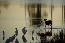 Deer Vs Egret