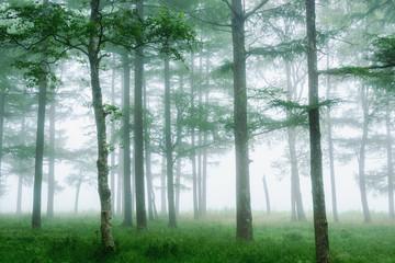 Obraz na Plexi Drzewa 霧の中の木々