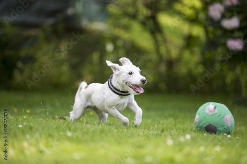White Puppy Dog Running Like Crazy Outdoors The Breed Is Parson