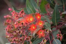 Eucalyptus Flowers N Buds