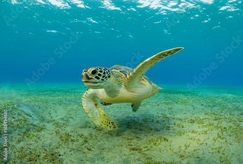 Foto op Aluminium Schildpad Hawksbill turtle eating sea grass from sandy bottom