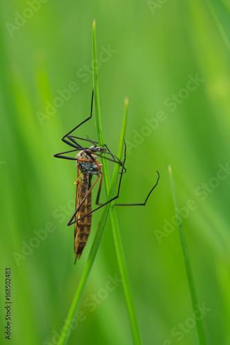Komarnica olbrzymia, Tipula maxima - 168502483