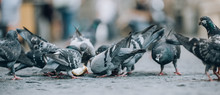 Pigeons Eat On The Street. Dove Crowd Bunch Feed