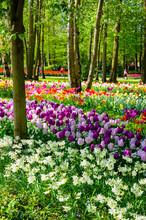 Blooming Flowers In Keukenhof ...