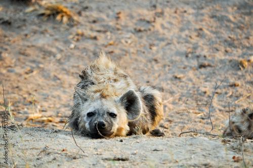 Papiers peints Hyène spotted hyena