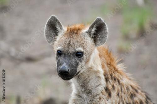 Poster Hyène spotted hyena