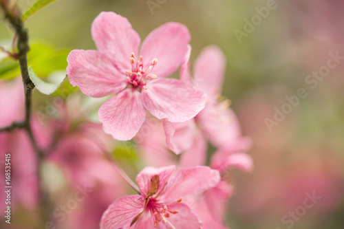 Fotografie, Obraz  Dogwood Tree Flowers Blooming in Spring