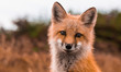 Leinwandbild Motiv Red Fox