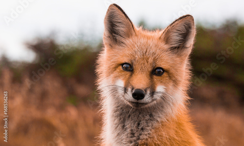 Fotografie, Obraz  Red Fox