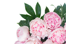 Bloomig Peony Flowers With Leaves Border Colored In Shades Of Pink Isolated On White Background