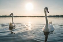 Two White Swan Birds On The La...