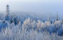 Hoar Frost On Trees, Kenai Pen...
