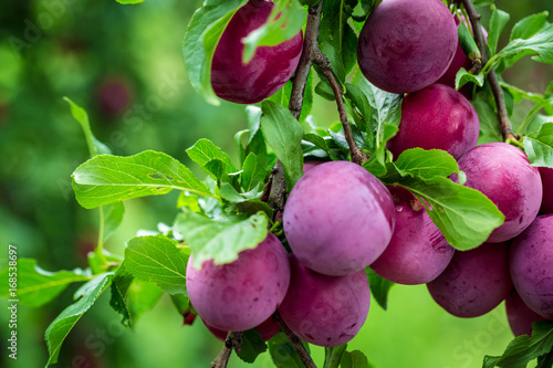 Photo Beautiful background of the red ripe plums on the tree