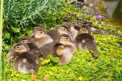 Fotografia  Küken der Mandarinente (Aix galericulata) ruhen am Ufer eines Teichs im Grün, Os