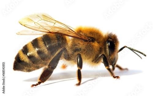 Poster Bee detail of bee or honeybee in Latin Apis Mellifera
