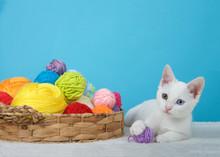 Small White Kitten With Hetero...