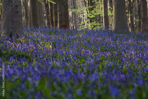 Papiers peints Jardin Bluebells flowers Hallerbos